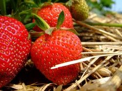 Erdbeeren by flickr marfis75 - Die Erdbeer-Saison hat begonnen!