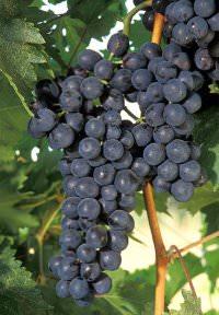 Trauben Quelle Wikimedia - Naturwein: Neue Aromen in Orange