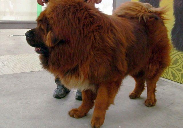 Tibet Mastiff Quelle Wikimedia - Tibet-Mastiff: 1,4 Millionen für einen Hund!