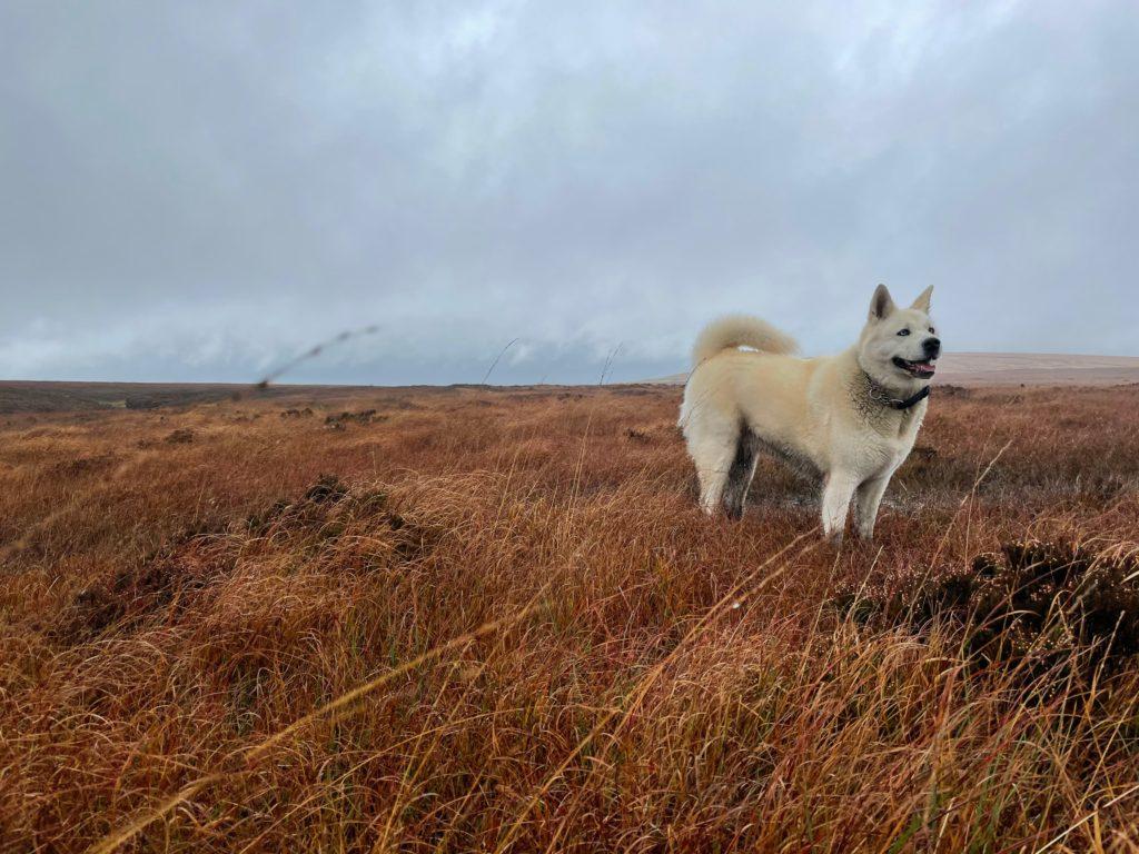 Akita Inu hund 1024x768 - Die 10 teuersten und seltensten Hunderassen der Welt