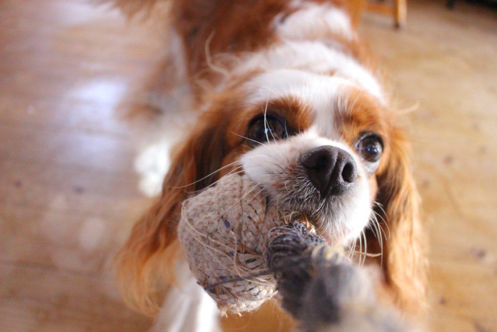 Cavalier King Charles Spaniel hund hunderassen 1024x683 - Die 10 teuersten und seltensten Hunderassen der Welt