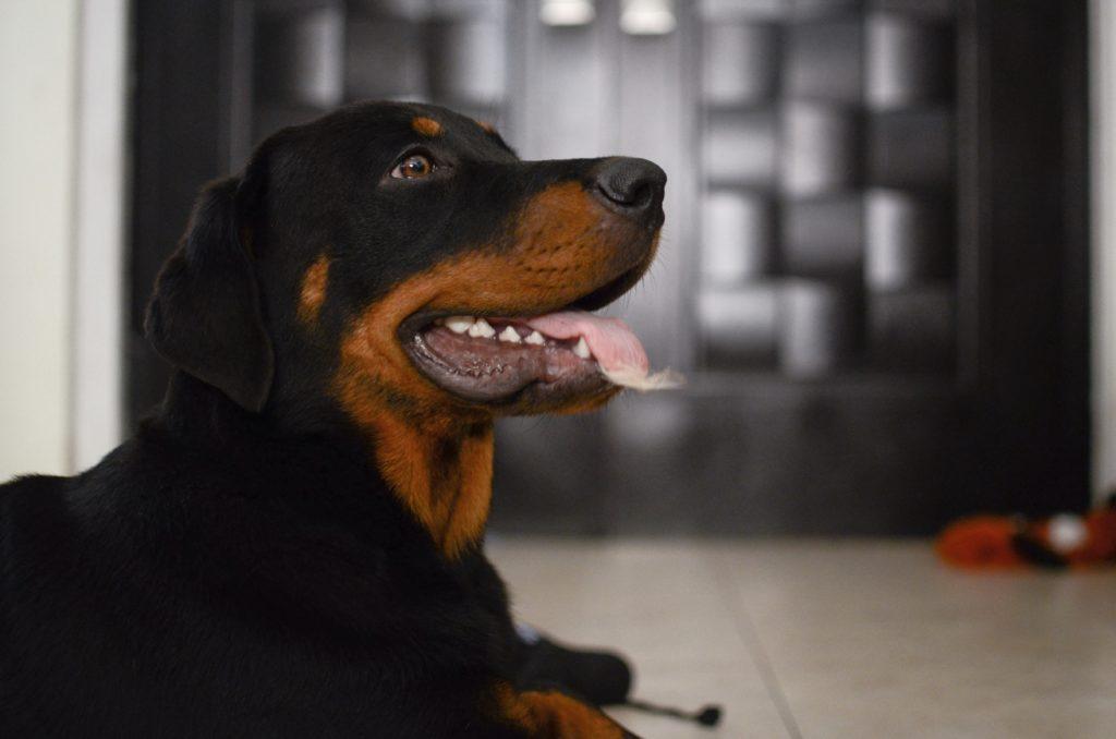 Rottweiler hund hunderasse 1024x678 - Die 10 teuersten und seltensten Hunderassen der Welt