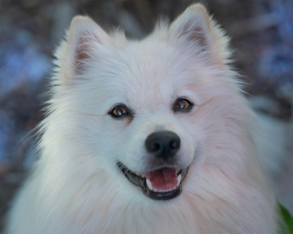 eskimo hund 1024x819 - Die 10 teuersten und seltensten Hunderassen der Welt