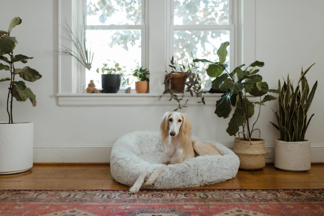 teuersten hunderassen der welt seltensten 1080x720 - Die 10 teuersten und seltensten Hunderassen der Welt