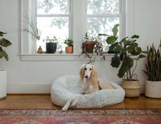 teuersten hunderassen der welt seltensten 520x400 - Die 10 teuersten und seltensten Hunderassen der Welt