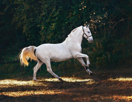 helena lopes teuerste pferderassen der Welt 520x400 - Die 3 teuersten Pferderassen der Welt