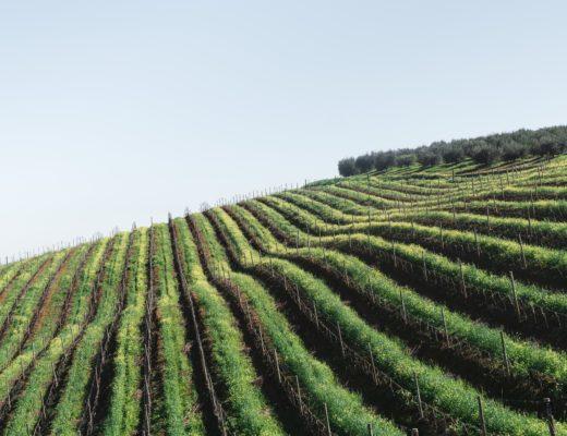 wein suedafrika weingueter stellenbosch 520x400 - Die 7 schönsten Weingüter in Südafrika